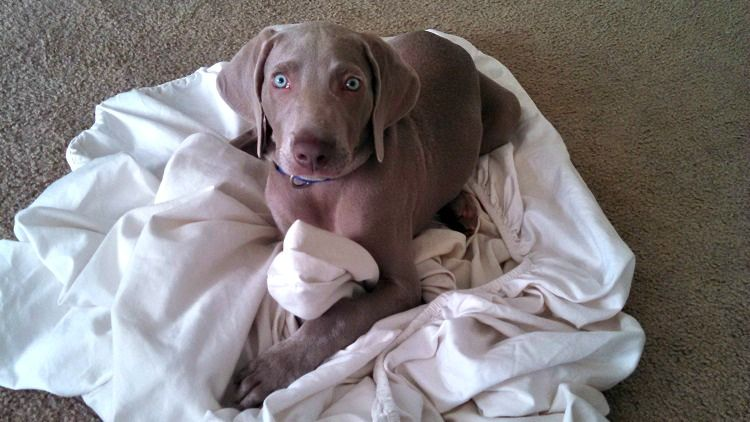 Weimaraner pup Remy is a hyper puppy at night!