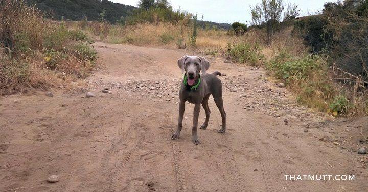 Remy the weimaraner puppy