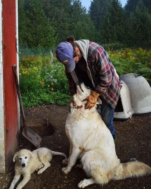 Socializing a livestock guardian dog
