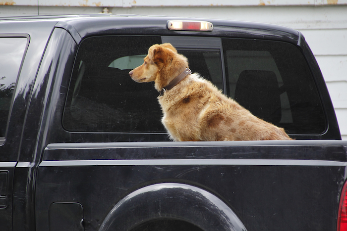 Dog riding in the back of a pickup truck