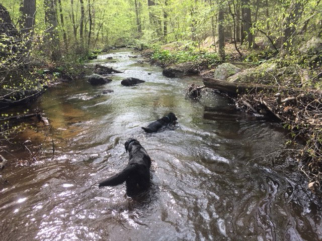 Tom and his black lab friend wade in the creek on a spring day