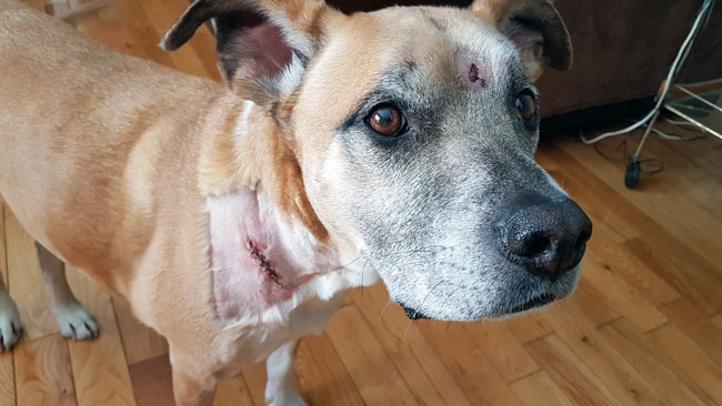 Dog with stitches in his neck