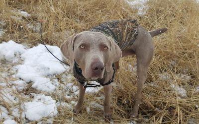 GPS Dog Collar – Garmin Alpha 100 Review
