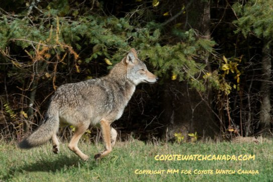 Coyote running in a field