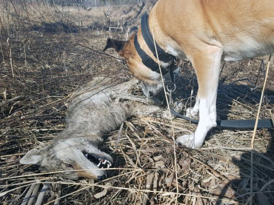 Dog sniffing a dead coyote