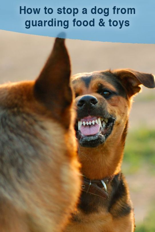 How to Break A Dog's Possessiveness - Stop Dog Guarding Toys
