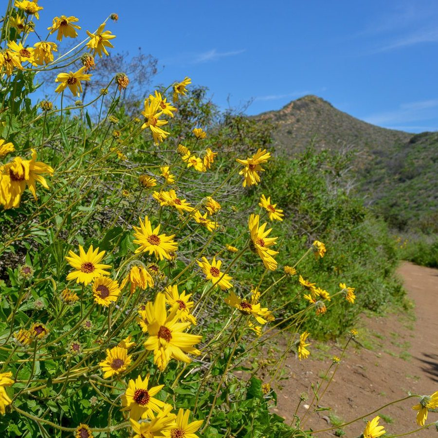Flowers on the hiking trail in Laguna Coast Wilderness Park