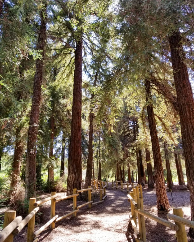 The redwoods in Carbon Canyon