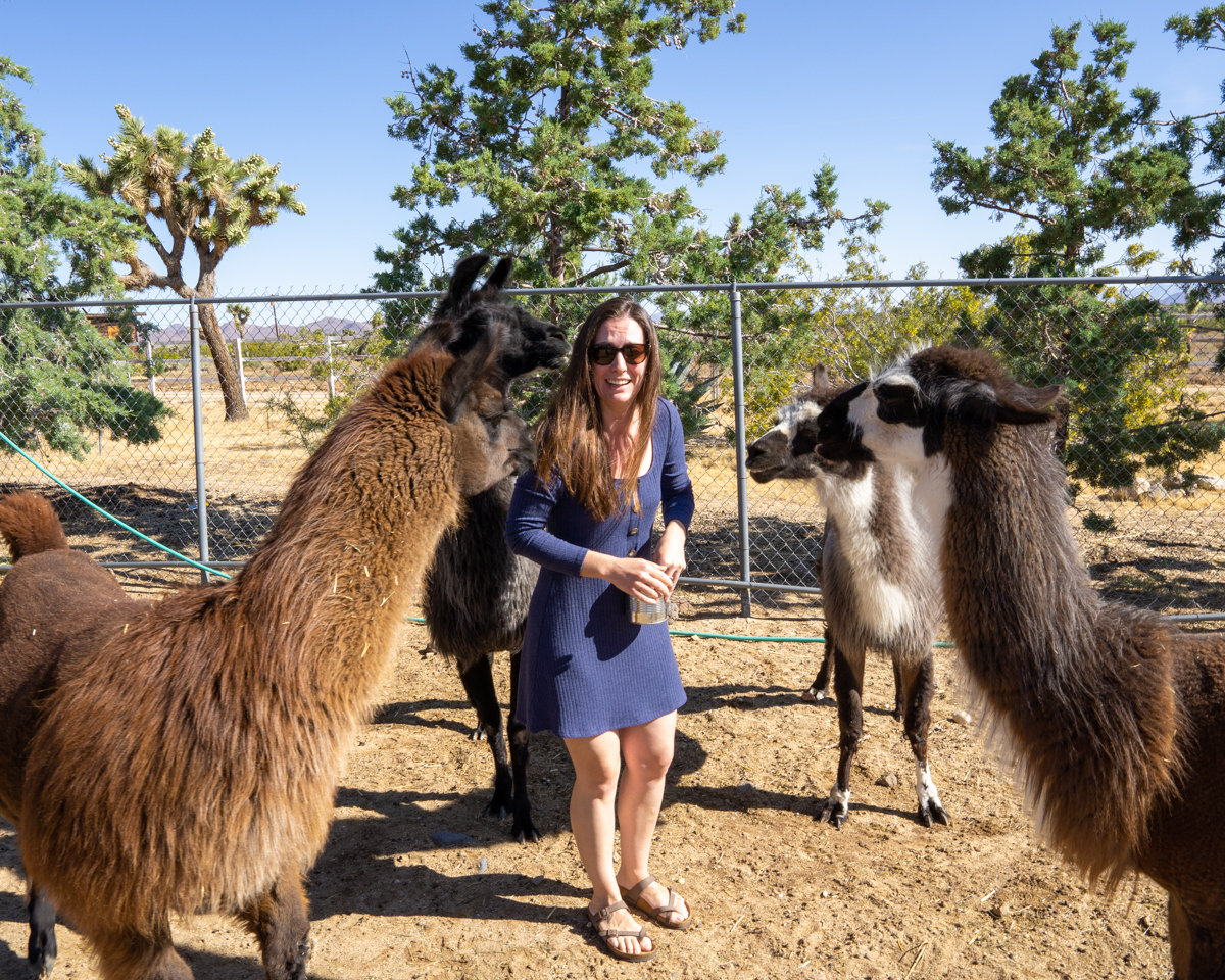 Feeding llamas in Joshua Tree