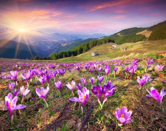 36535685 - blossom of crocuses at spring in the mountains. colorful sunset.