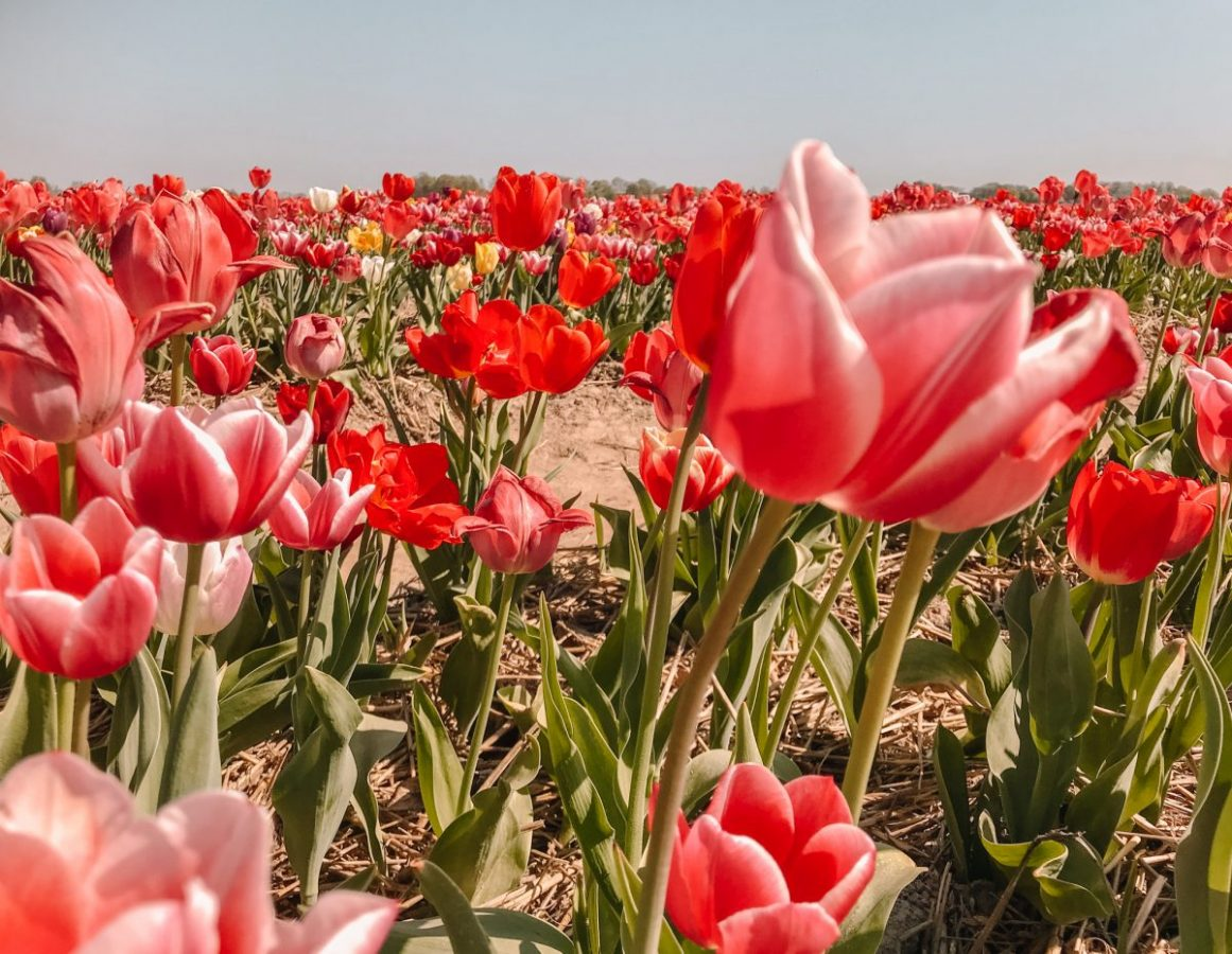 Tulpenroute Flevoland 5