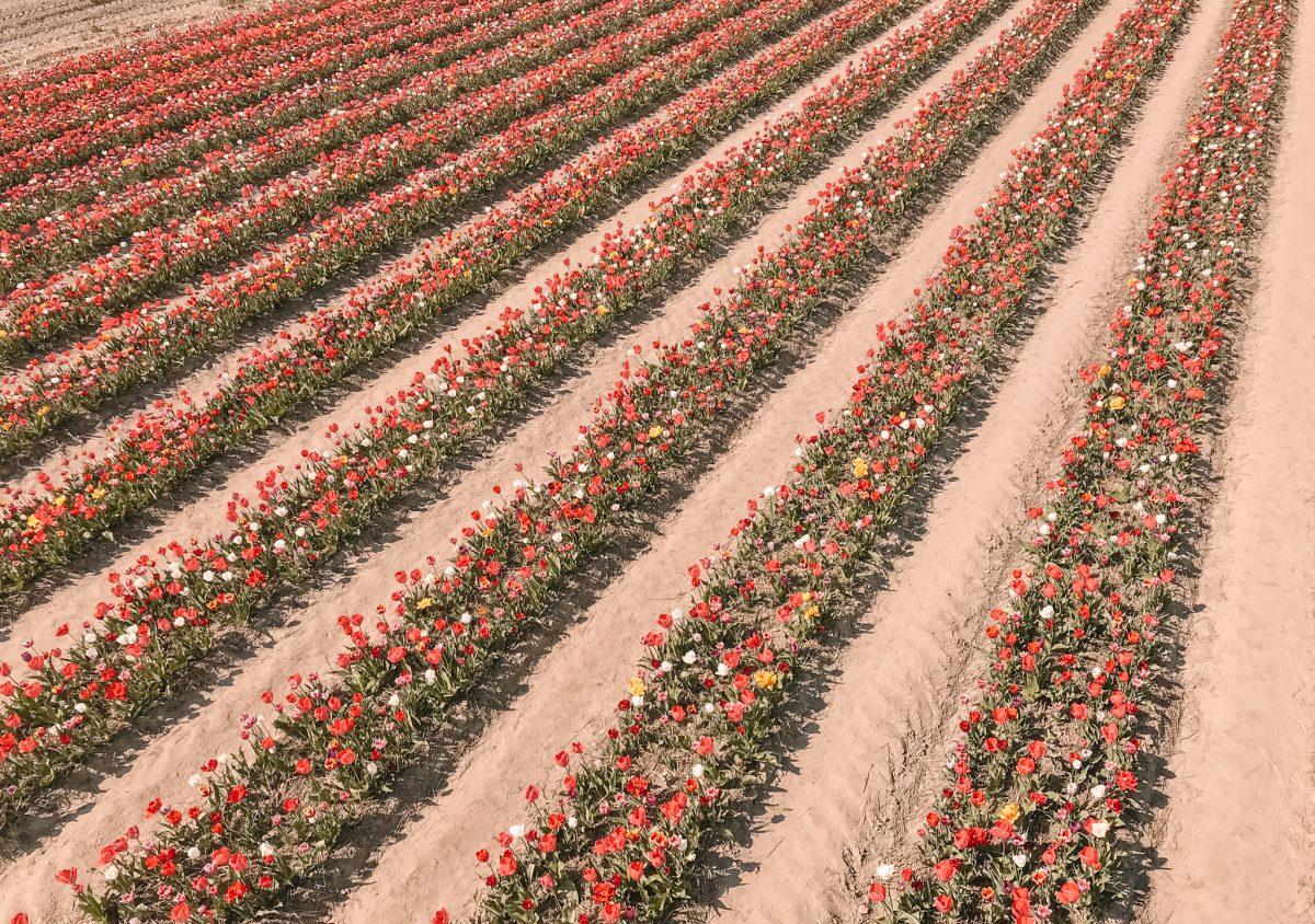 Tulpenpluktuin Marknesse 7