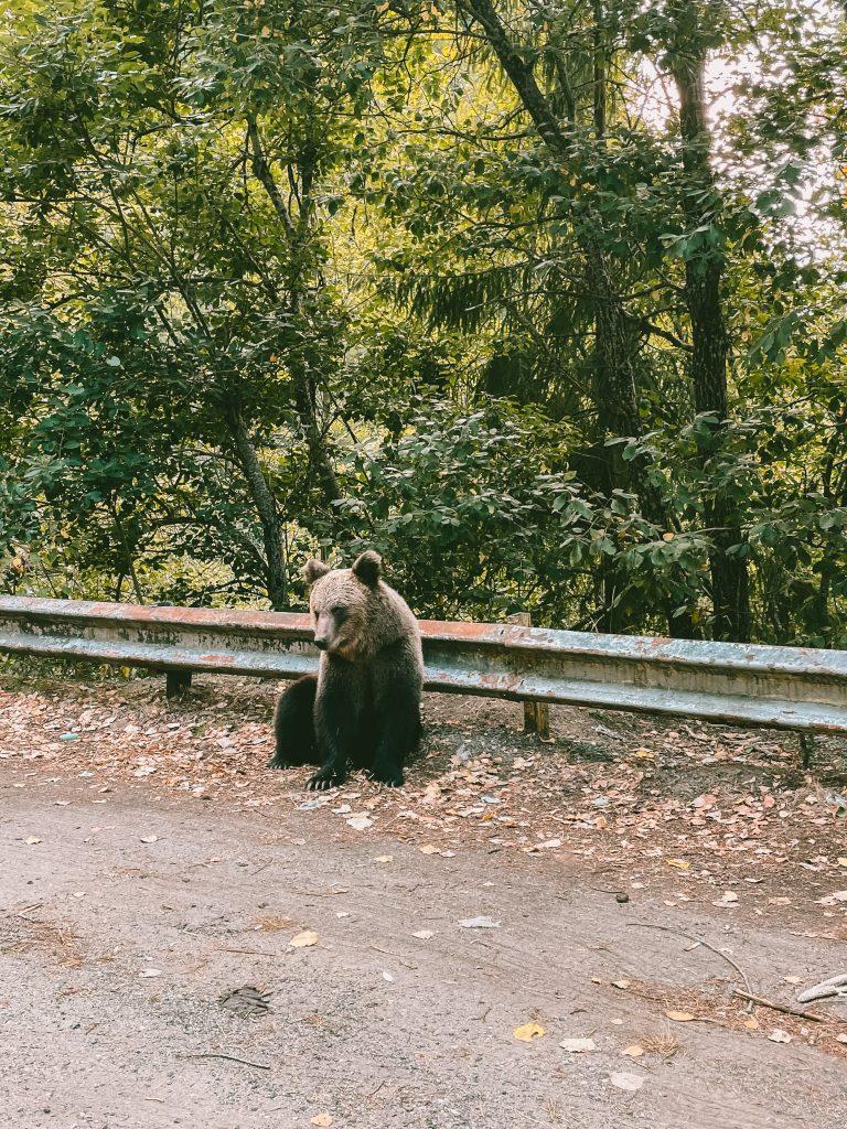 Brown bears, Roemenië, augustus 2021