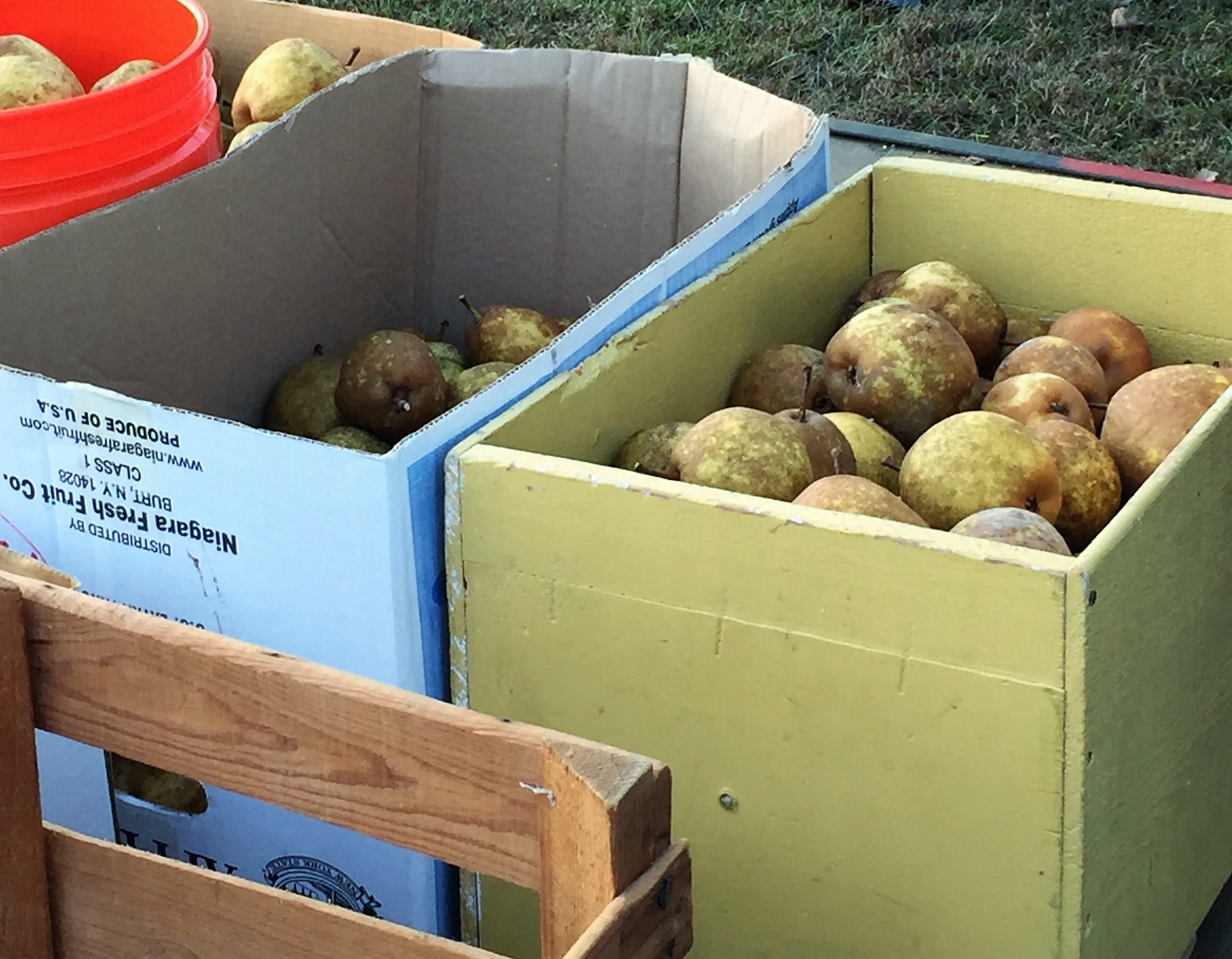 Wagon full of pears. Picking pears is a fun fall activity!