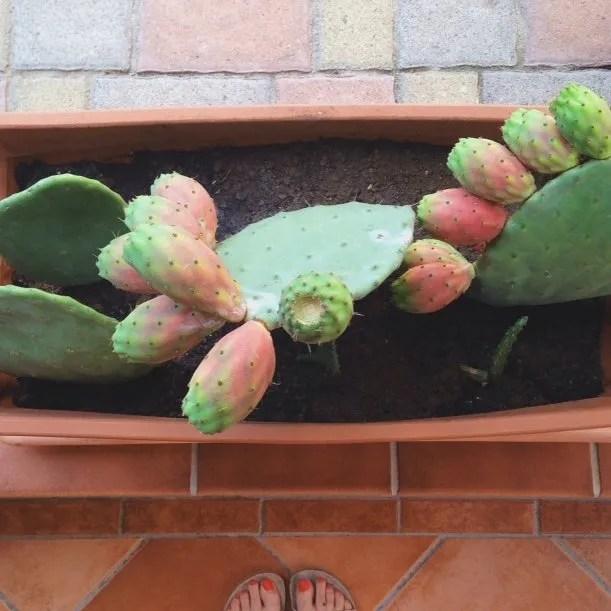 INGRIDESIGN_snapshots from Puglia :: indian figs