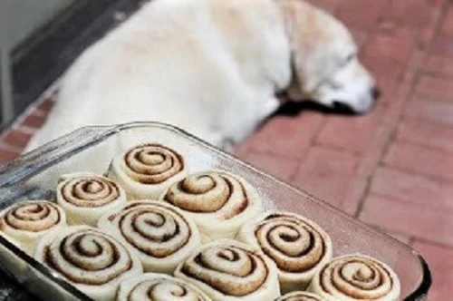 Unbaked classic cinnamon rolls with a yellow lab in the background