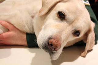 A close up of Lambeau, our yellow lab