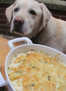 Lambeau sniffing in the vicinity of the potato gratin