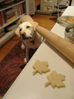 Yellow lab looking at the kitchen counter for a treat