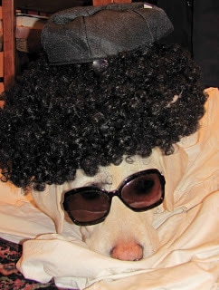 Yellow lab in glasses and wig