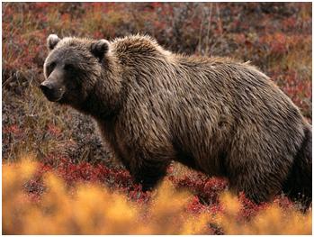 Bear | Top 10 strongest animals