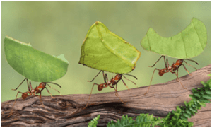 LeafCutter Ant | Top 10 strongest animals