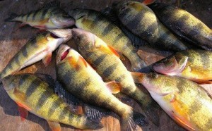 Yellow Perch Photo by Cap'n Larry Jarboe The Chesapeake