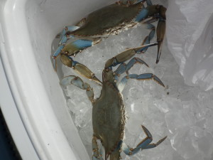 These legal size Blue crabs caught off the Bill Burton State Fishing Pier at Cambridge, Md., are looking for a pot to steam in.  THE CHESAPEAKE TODAY photo