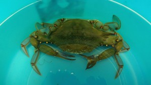 Crab shedding blues