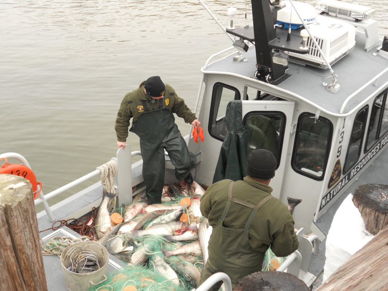 Maryland NRP officers sort through illegally caught rockfish