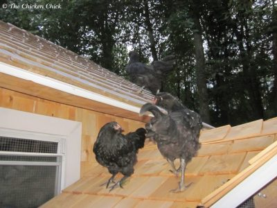 Teaching chickens to return to the coop at night is best done from the time they first take up residence in the coop, but they can also be trained at a later date if necessary. Read about Coop Training, here.