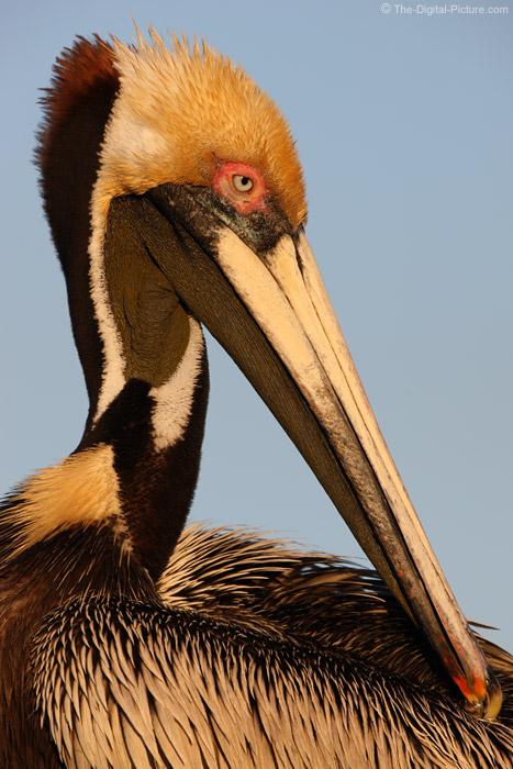 Florida Brown Pelican