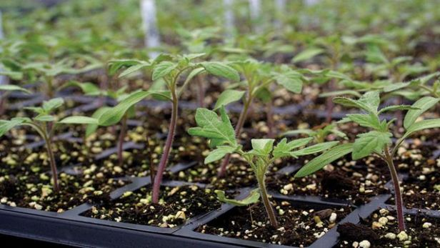 healthy seedlings