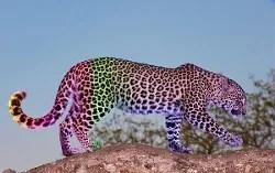 Colour shifting leopard © Hedrus | Dreamstime.com