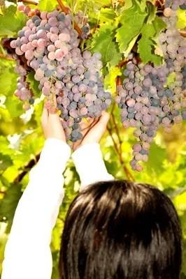 Woman picking grapes © marin   freedigitalphotos.net