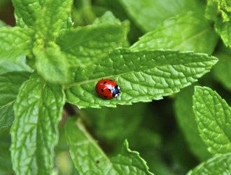 ladybug mint