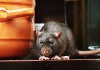 rat on countertop