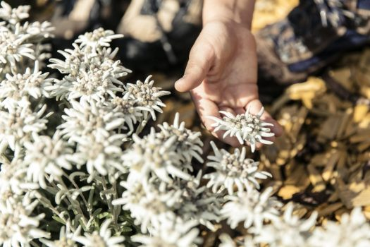 Blossoms - next to the Sennhütte above St. Anton am Arlberg tourists in the summer months marvel at the largest edelweiss in the Alps Photo credit: TVB St. Anton am Arlberg Preparing your summer holidays in Covid-19 times.