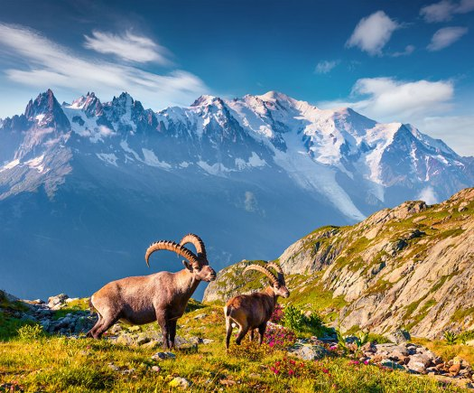 Ibex at Courmayeur.