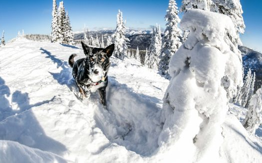 "Whitefish Mountain Resort Photo. The Ski Patrol Dog ""Jett"" found his toy - training for avalanche rescue by ski patrols. Whitefish Mountain Resort got 140 people evacuated from chairlift."