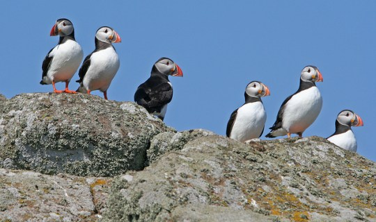 Isle of May Puffins  Isle of May      Jonathan Osborne