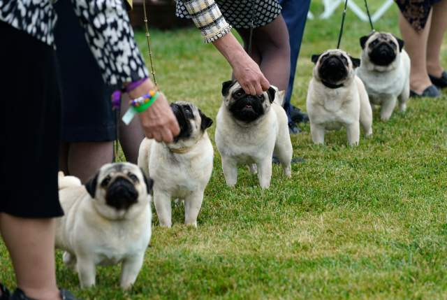 Pugs line up at the judging area