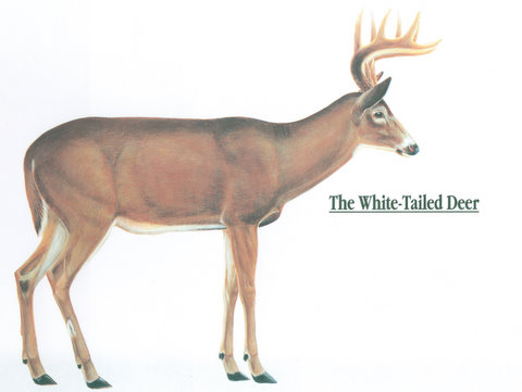 Anatomy Of A Whitetail Deer