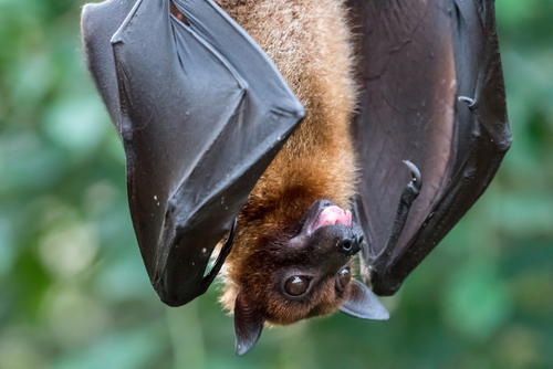 Fruitbat hanging upside down