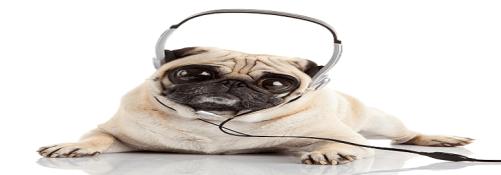 pug listening to earphones-2