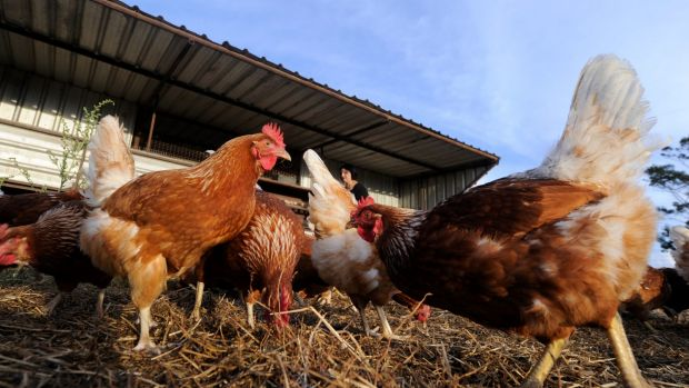 """Darling Downs has conceded from December 2013 to October 2014 it had falsely labelled its eggs as """"free range""""."""