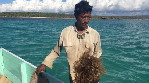 A seaweed farmer from the Indonesian island of Rote, where locals say their fish stocks and seaweed crops were ...