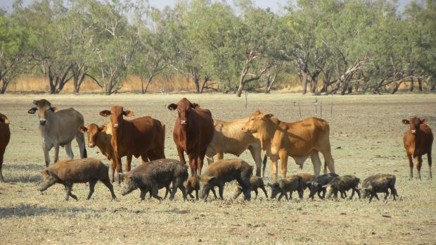 Harold Mitchell has been involved in the cattle industry in the Kimberleys for the past 10 years.