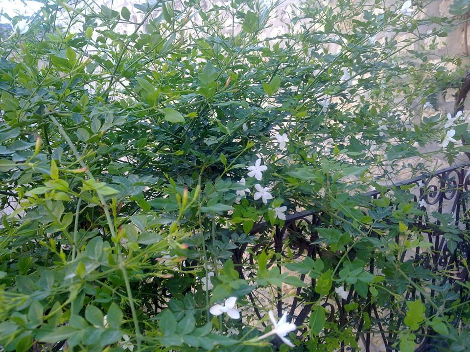 Jasmine tree from the terrace - Nour Chaar 2010