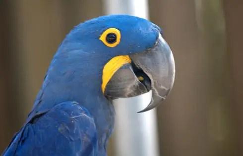 hyacinth macaw